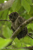 Owl, Mantinani Scops