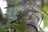 Babbler, Melodious @ Irawan Eco Park