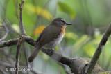 Flycatcher, Palawan Blue (female) @ Banong Bridge