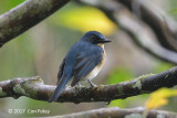 Flycatcher, Palawan Blue (male) @ Banong Bridge