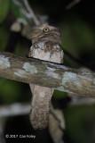 Frogmouth, Palawan @ Zig Zag Road