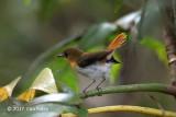 Flycatcher, Palawan @ Irawan Eco Park