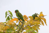 Parrot, Blue-naped @ road to Napsan