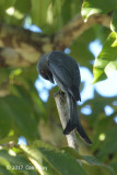 Drongo, Ashy @ near Bonong Bridge