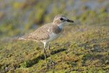 Plover, Lesser Sand @ Marina East Drive