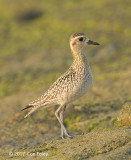 Plover, Pacific Golden @ Marina East Drive