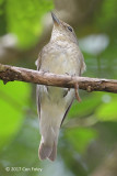 Flycatcher, Narcissus (female) @ Dairy Farm