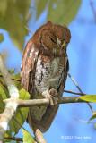 Owl, Oriental Scops (rufous morph) @ Dairy Farm