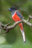 Trogon, Malabar (male) @ Bodinagala