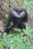 Purple Faced Leaf Monkey
