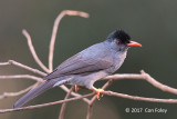 Bulbul, Square-tailed Black @ Martin's Lodge