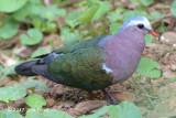 Dove, Emerald @ Martin's Lodge