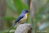 Flycatcher, Tickell's Blue (male) @ Bodinagala