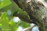 Yellownape, Lesser (female) @ Bodinagala