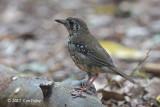 Thrush, Spot-winged