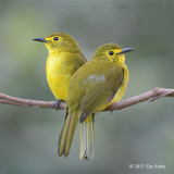 Bulbul, Yellow-browed