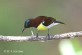 Sunbird, Purple-rumped