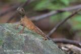 Brown-patched Kangaroo Lizard (Otocryptis wiegmanni) @ Sinharaja