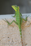 Green Forest Lizard (calotes calotes) @ Sinharaja