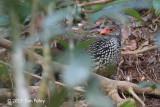 Spurfowl, Sri Lanka (adult male) @ Sinharaja