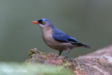 Nuthatch, Velvet-fronted (female) @ Sinharaja