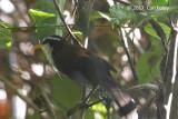 Babbler, Sri Lanka Scimitar