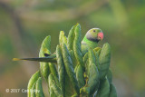 Parakeet, Layard's (male) @ Education Centre