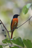 Minivet, Orange @ Sinharaja