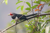 Malkoha, Red-faced (male) @ Sinharaja