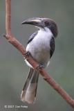 Hornbill, Sri Lanka Grey (female) @ Martin's Lodge