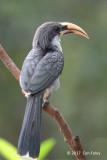 Hornbill, Sri Lanka Grey (male) @ Martin's Lodge