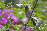 Bulbul, Red-vented @ Victoria Park