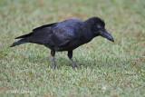 Crow, Indian Jungle @ Victoria Park