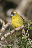 Bulbul, Yellow-eared @ Horton Plains