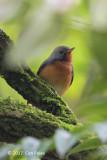 Flycatcher, Kashmir (male) @ Victoria Park