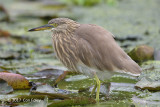 Heron, Indian Pond @ Victoria Park