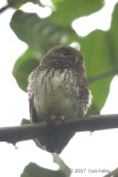 Owlet, Chestnut-backed @ Kitulgala