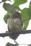 Owlet, Chestnut-backed