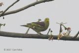 Pigeon, Sri Lanka Green