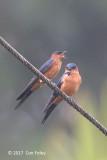 Swallow, Sri Lanka @ Kitulgala