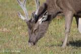 Samba Deer (male) @ Horton Plains