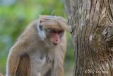 Toque Macaque @ Hakgala Botanical Garden