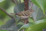 Warbler, Yellow-browed @ Sentosa