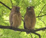Owl, Buffy Fish (juv+fem) @ Botanic Gardens
