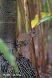 Crake, Red-legged (juv) @ Botanic Gardens