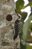Woodpecker, Grey-capped @ Perlis