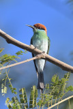Bee-eater, Rufous-crowned