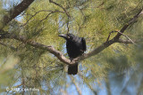 Crow, Large-billed @ Subic