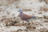 Dove, Red-collared (male) @ Perak