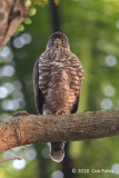 Goshawk, Crested (female) @ AMK